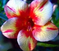 Adenium Obesum Desert Rose 'Pink Diamond' 5 Fresh Seeds